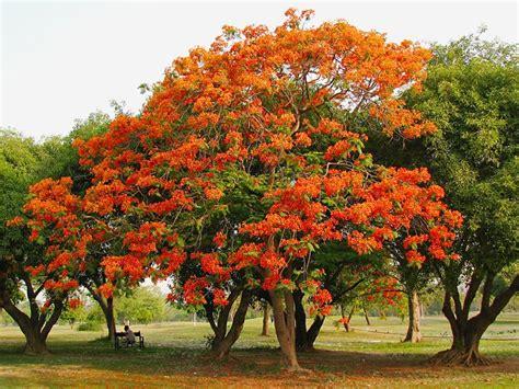 Benihbijibibit Bunga Bonsai Flamboyan Orange 17 best images about flamboyan on en argentina and freeform crochet