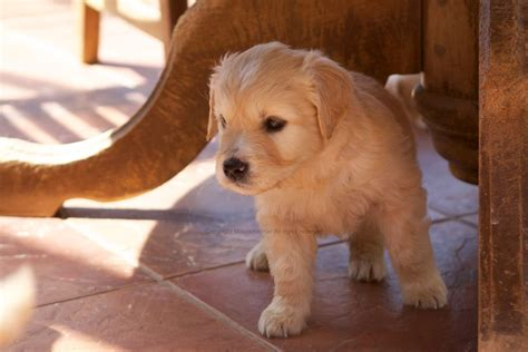 characteristics of golden retrievers golden retrievers bred for temperament alton hshire pets4homes