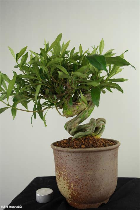 bonsai gardenia kaapse jasmijn nr  wwwhenhbonsainl