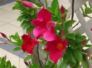 Mandevilla Trellis Plant Trepadeiras Com Flores Tipos Dicas Como Cuidar E Fotos