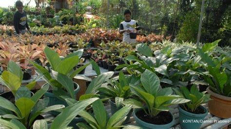 Lu Hias 17 koleksi tanaman hias terlengkap di medan 1