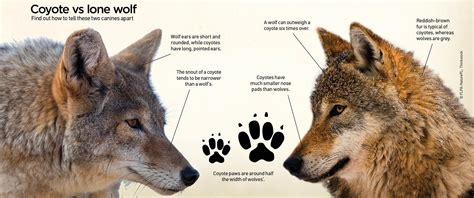 wolf vs coyote vs wolf vs fox