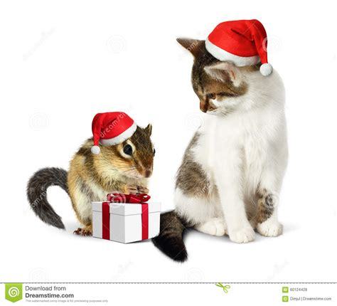 funny christmas pet funny squirrel  cat  santa hat   stock photo image  cute