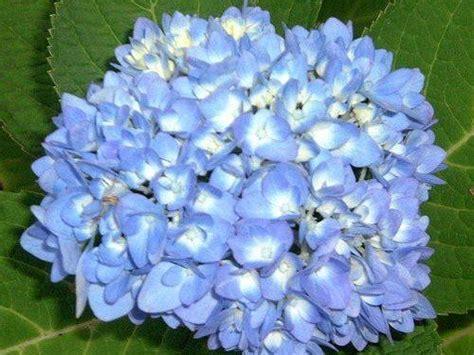 truth  endless summer hydrangea endless