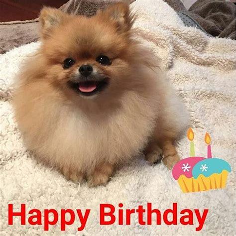 happy birthday pomeranian pomeranian doglover instadog fluffy on instagram