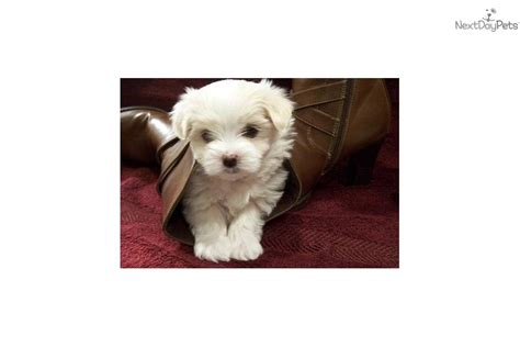 maltese puppies for sale in iowa maltese puppy for sale near cities iowa 481a81e6 3301