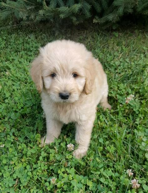 goldendoodle puppies for sale in louisiana and cuddly goldendoodle puppies craigspets