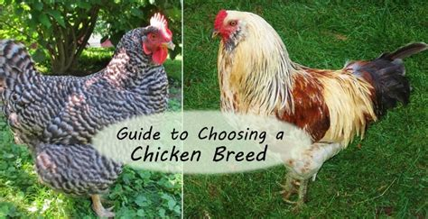 friendliest bantam chicken breeds guide to choosing chicken breeds the best breeds for your flock
