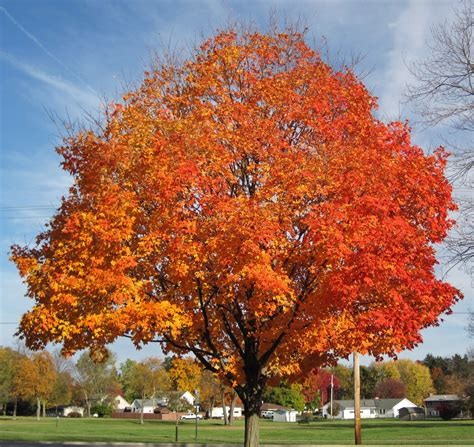 tree colors acer saccharum sugar maple tree in fall colors country