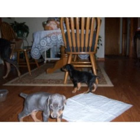 doberman puppies for sale in louisiana doberman puppies for sale in louisiana breeds picture