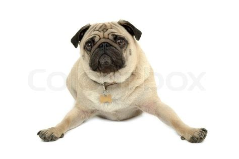pug white background a sad pug is resting on white background stock photo colourbox