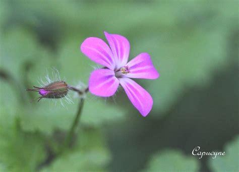 Geranium Sauvage Fleur by Fleurs Rouges Sauvages