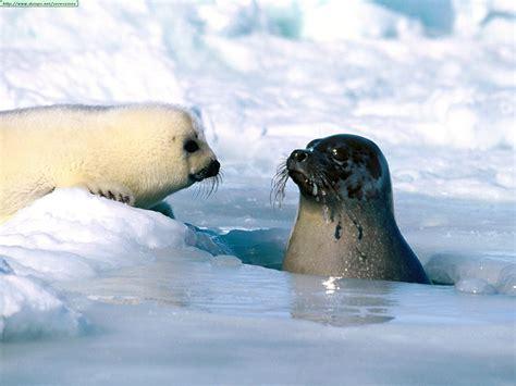 baby seal pup fotos de focas i