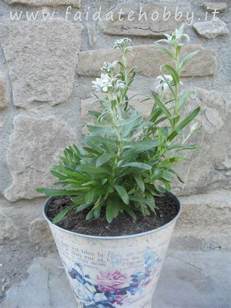 stelle alpine in vaso coltivazione della stella alpina