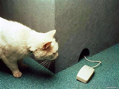 cat rat wallpaper animal humor images cat and mouse wallpaper photos