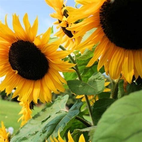 black sunflower seeds maturity how to grow my own black sunflower seeds black to grow and black