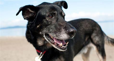 senior dogs senior dogs cesar s way