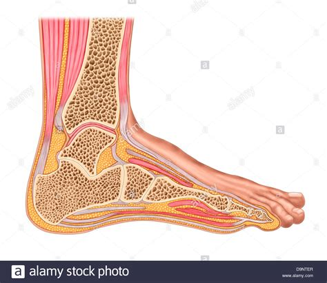sections of the foot cross section of anterior human foot with muscles and