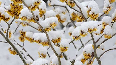 winterblueher im garten blueten und duft  eis und schnee
