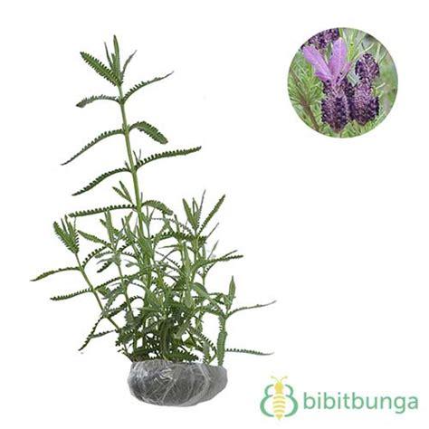 Tanaman Bunga Hias Lavender tanaman lavender jual tanaman hias