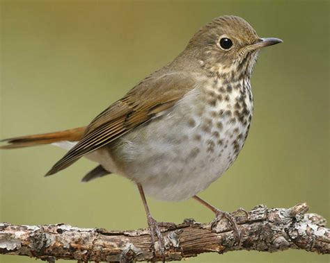 hermit thrush audubon field guide