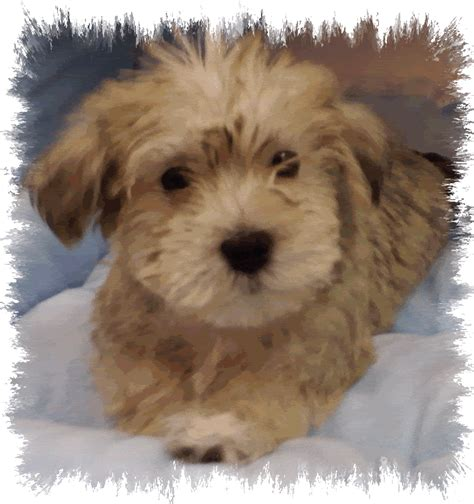teacup yorkie maltese mix pin teacup yorkie maltese mix image search results on