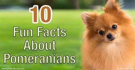 interesting facts about pomeranians best 25 pomeranian facts ideas on pomeranians pomeranian dogs and pomeranian