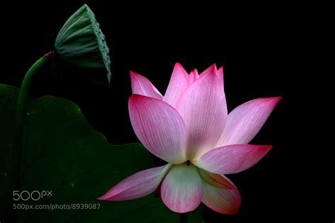 lotus flower seed pod lotus flower seed pod by jimmy ng 500px