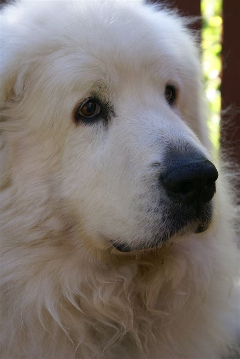 pictures of great pyrenees puppies great pyrenees great pyrenees great dogs yukon s best friend