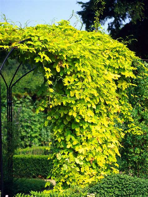 15 Climbing Vines For Lattice Trellis Or Pergola Best Climbing Vines For Pergolas