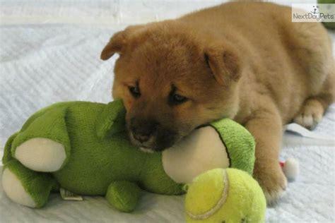 shiba inu puppies seattle shiba inu puppy for sale near seattle tacoma washington 0433cb16 1781
