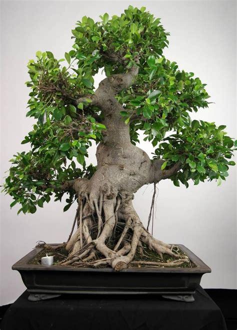 Bonsai Ficus Kaufen by 25 Best Ideas About Bonsai Ficus On Bonsai