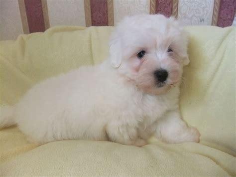 coton puppies available coton de tulear puppy breeds picture