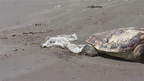 Cadavre Bag sea turtle carcass japan hd stock 105