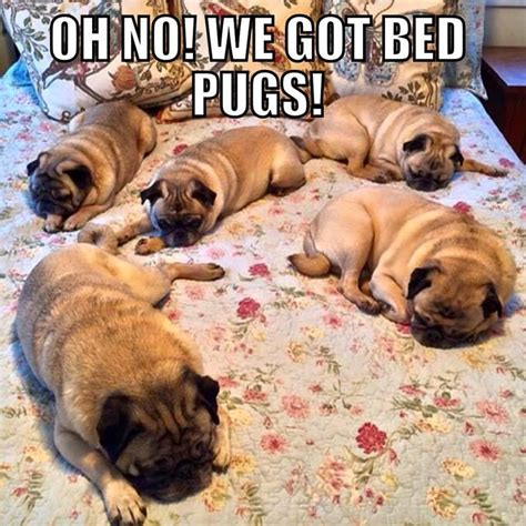 pug bed bed bugs are no laughing matter but bed pugs midwest mattress furniture outlet