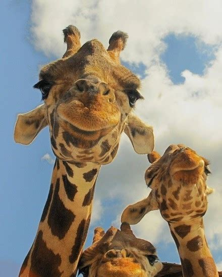 jirafas imagenes graciosas fotos de las jirafas graciosas spanish china org cn 中国最权威的