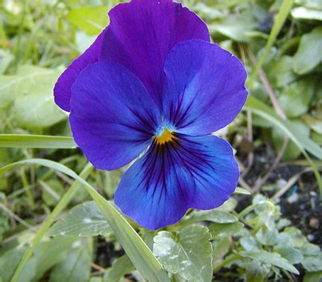 significato dei sogni fiori il significato e la simbologia della viola