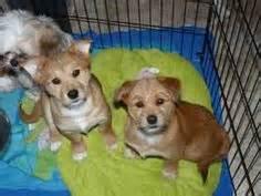 shiba inu shih tzu mix eskimo mix pup puppy stuff pup poodle and animal