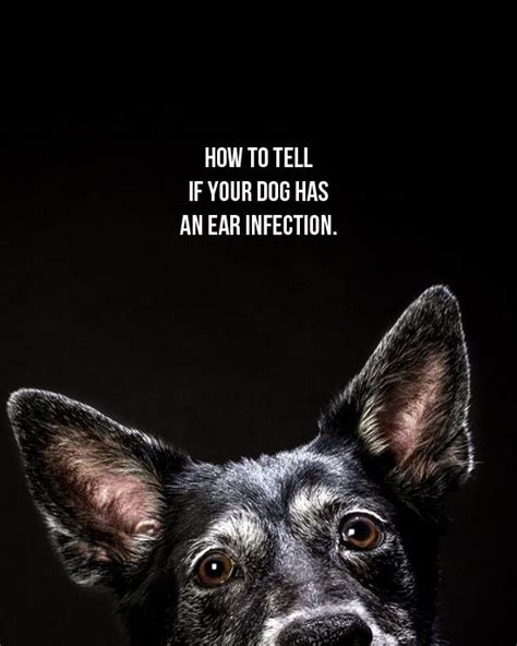 how to tell if has ear infection 17 best images about wellness on healthy treats for dogs apple a and pets