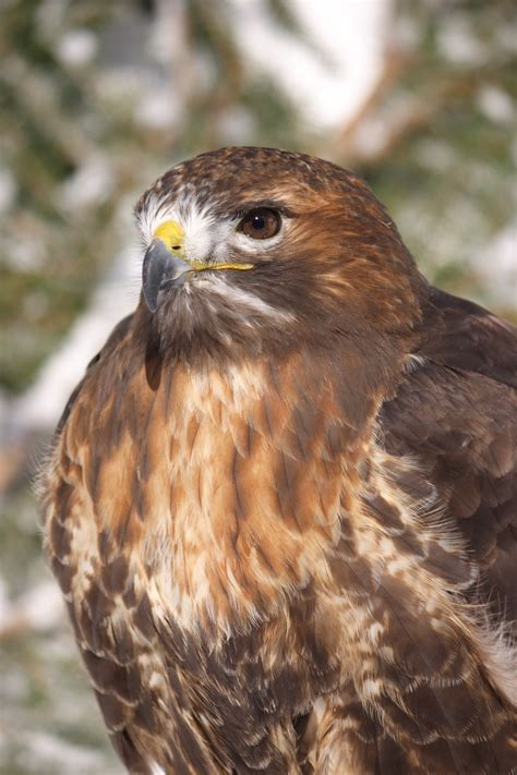 hawk focus on conservation