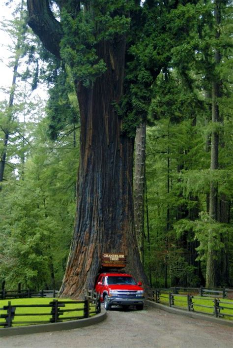 Chandelier Redwood Tree The Chandelier Tree In Redwood National And State Parks California United States 169 Ful Red