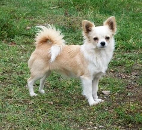 long hair chihuahua hair growth what to expect white and tan long haired chihuahua www pixshark com