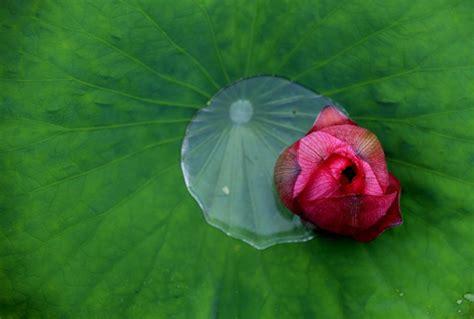fiori di loto gallery cina i bellissimi fiori di loto villaggio di chengkan