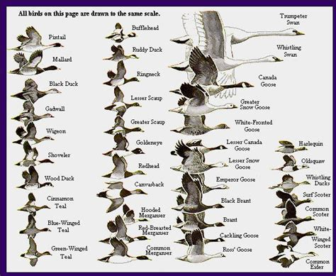 species chart waterfowl identification chart waterfowl