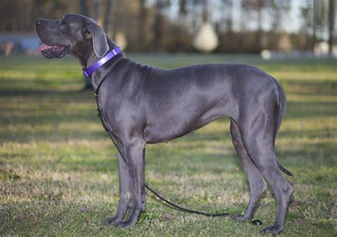 images of great animals great dane breed pictures free hd wallpapers