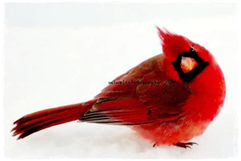 yes dear male cardinal in snow ruby red snow white christmas