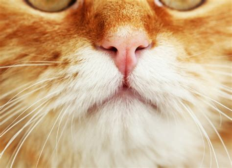 nasal discharge cat nose www pixshark images galleries with a bite