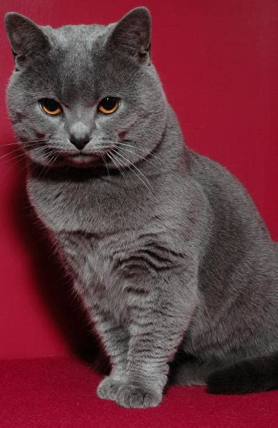 Chartreux History, Personality, Appearance, Health and