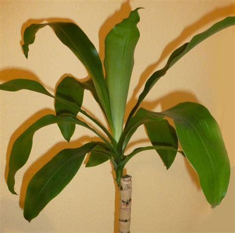 yucca palme im schlafzimmer yucca palme abschneiden yucca palme abschneiden yucca