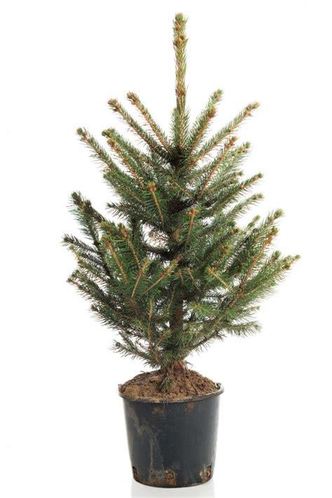 choosing a real christmas tree and christmas tree care